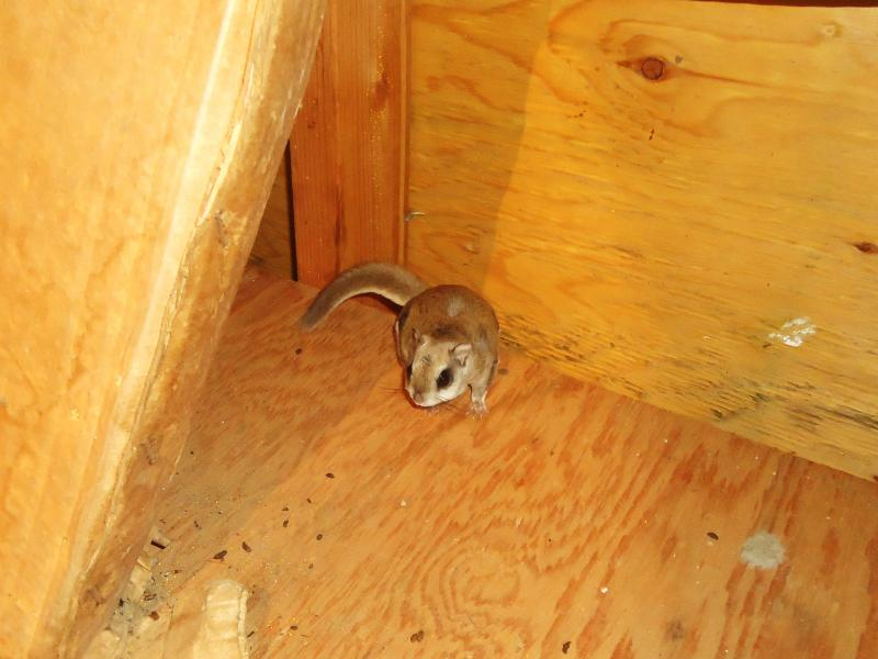 Animal Evictions Llc 174 Professional Squirrel Trapping